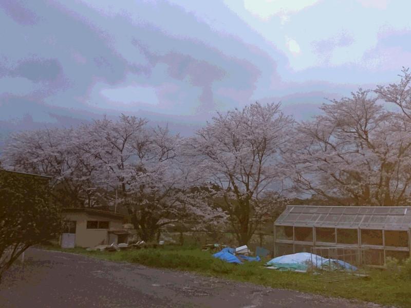 明日の桜に期待!